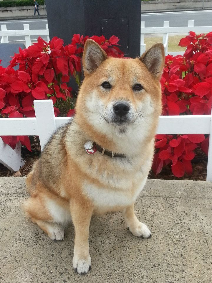 Adorable Shiba Inu In Front Of Poinsettia Plants With Images Shiba Inu Shiba Inu Dog Shiba Inu Puppy