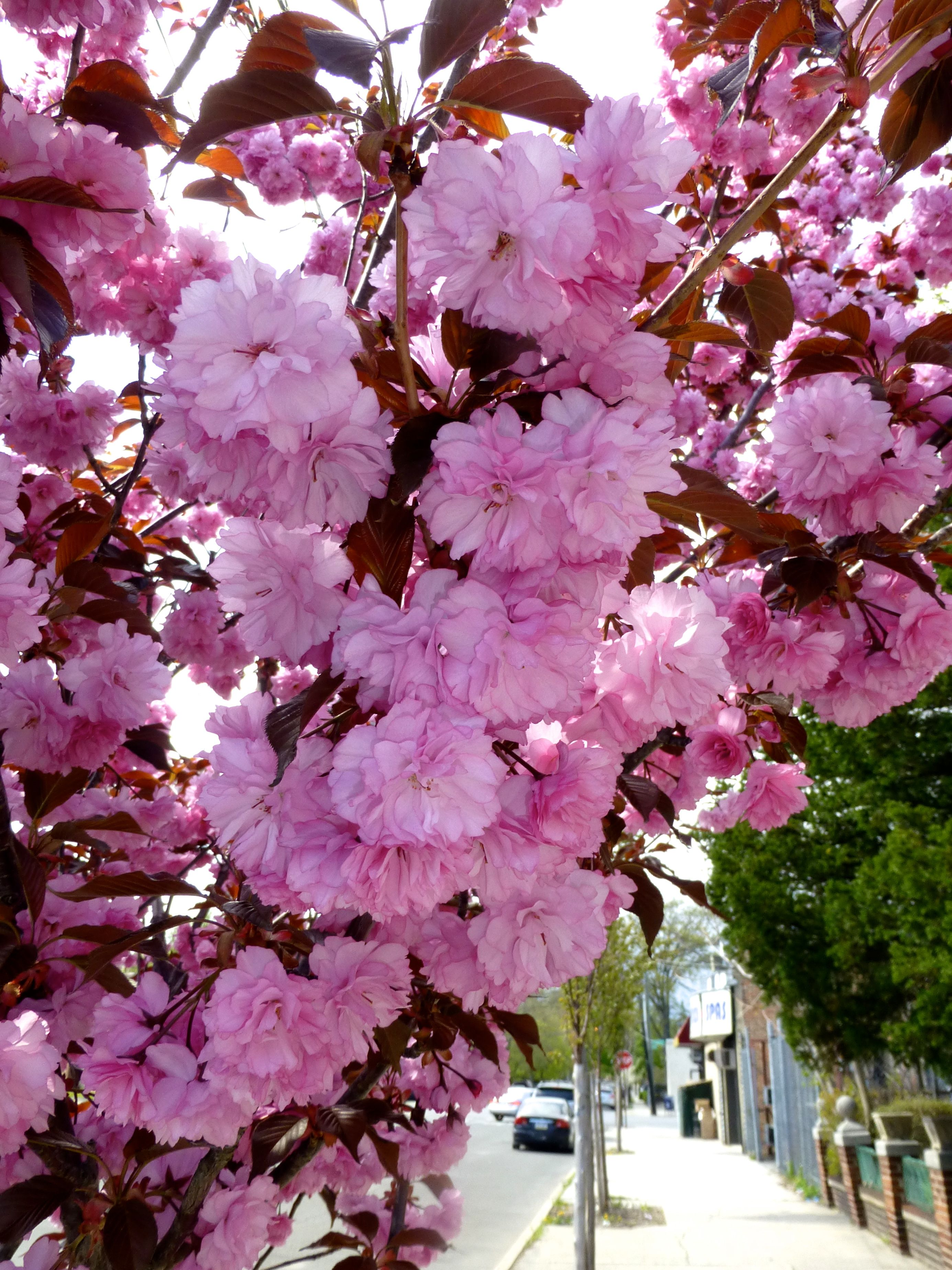 Pin By Carmela Romano On My Photos Sakura Tree Plants Garden Plants