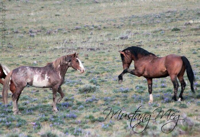 King of the mountain: Mustang Meg Oregon, Meg Oregon Mustang
