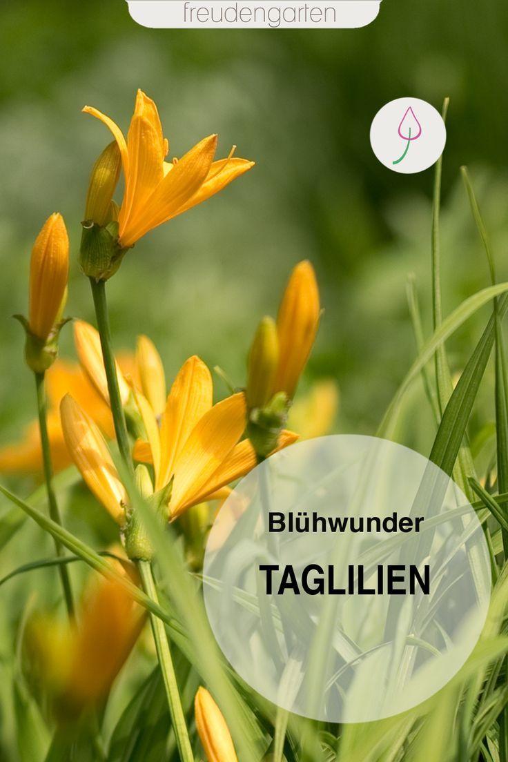 Taglilien - Pflege, Standort, vermehren #blumenbeetanlegen
