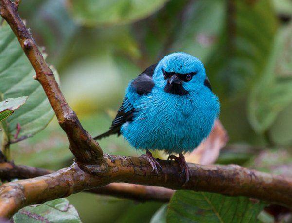 Blue Dacnis, Mielero Azul, or Saí-azul