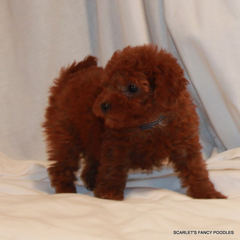 Akc Poodles Red Mini Poodle Red Poodle Puppy Teddy Bear