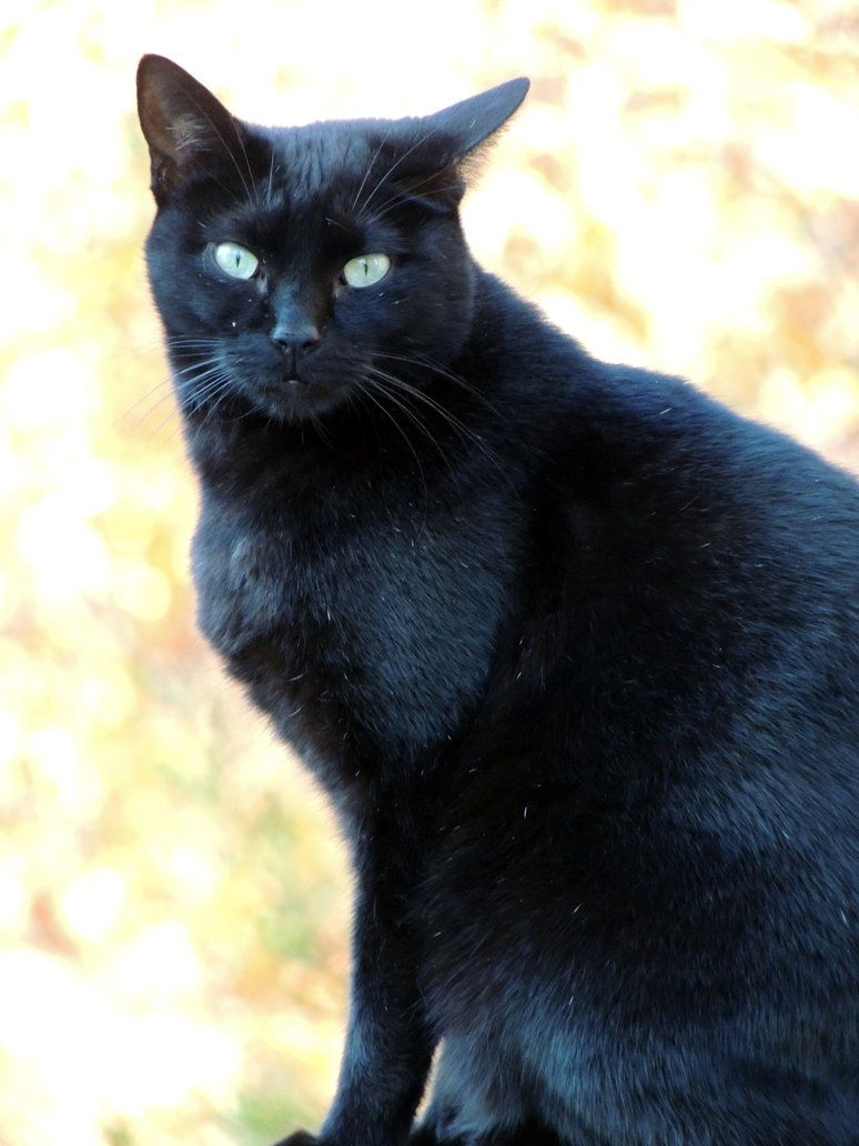 My Black Cat Cat With Blue Eyes Cats Cute Pet Names