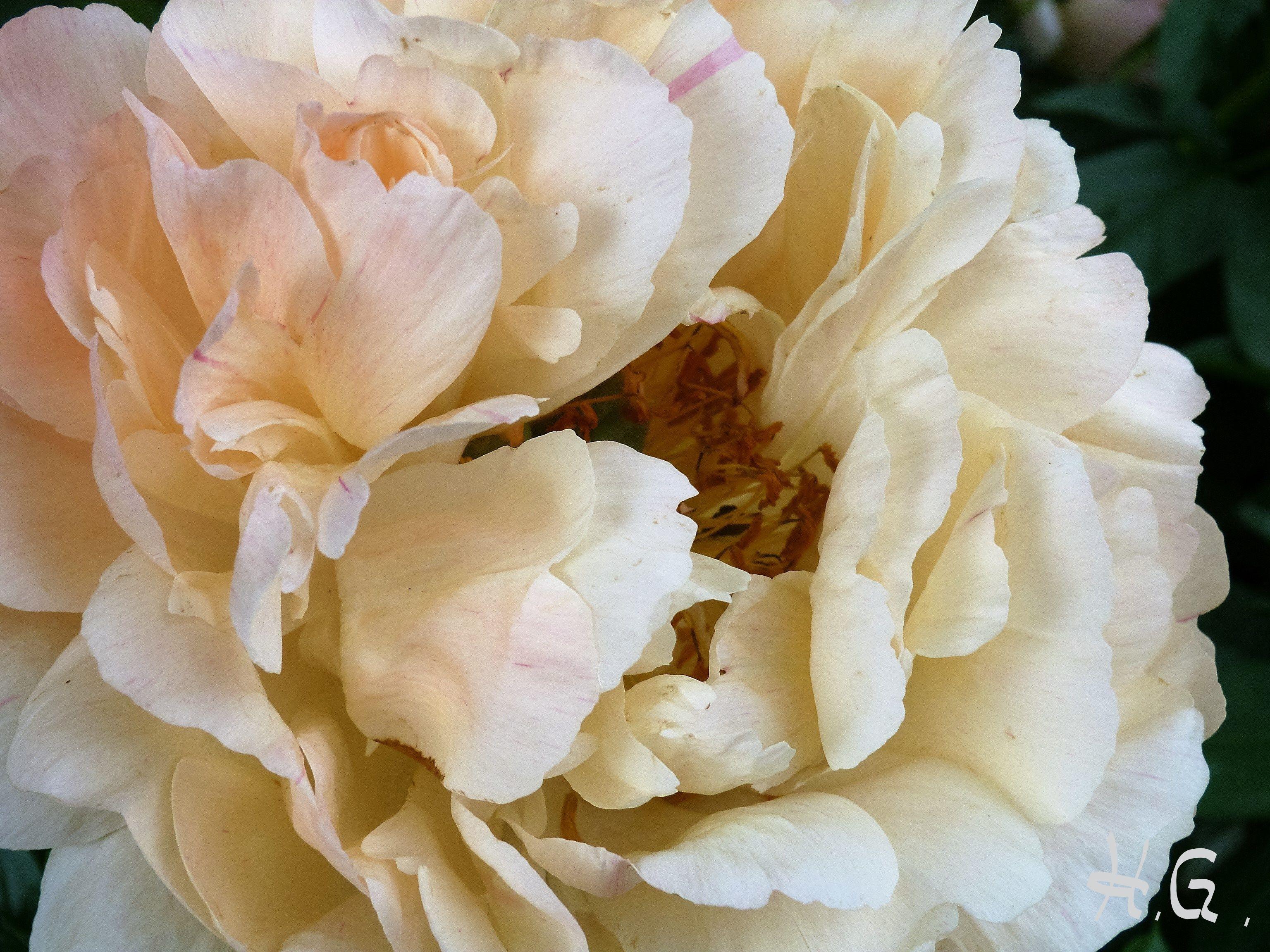 Pfingstrosen Trocknen blütenwunder pfingstrose gartenberatung und gartenplanung