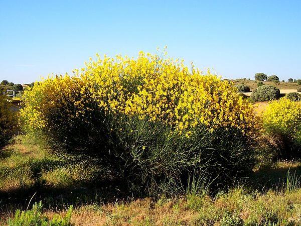 Spartium Junceum Spanish Broom Perennial Shrub Flores Fincas