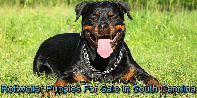 In South Carolina Rottweiler Puppies For Sale Rottweiler