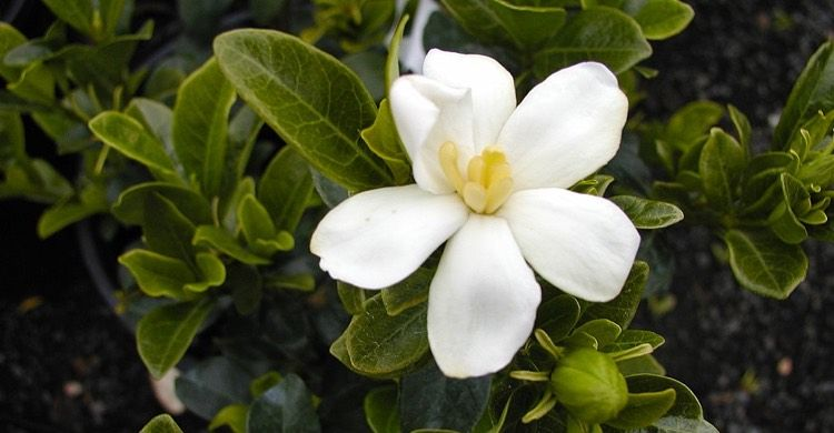 Kleim S Hardy Gardenia White Flowers Are Single Form With Six Petals And Yellow Stamens Fragrance Is Classic Gardenia Leaves Ar Gardenia White Flowers Shrubs