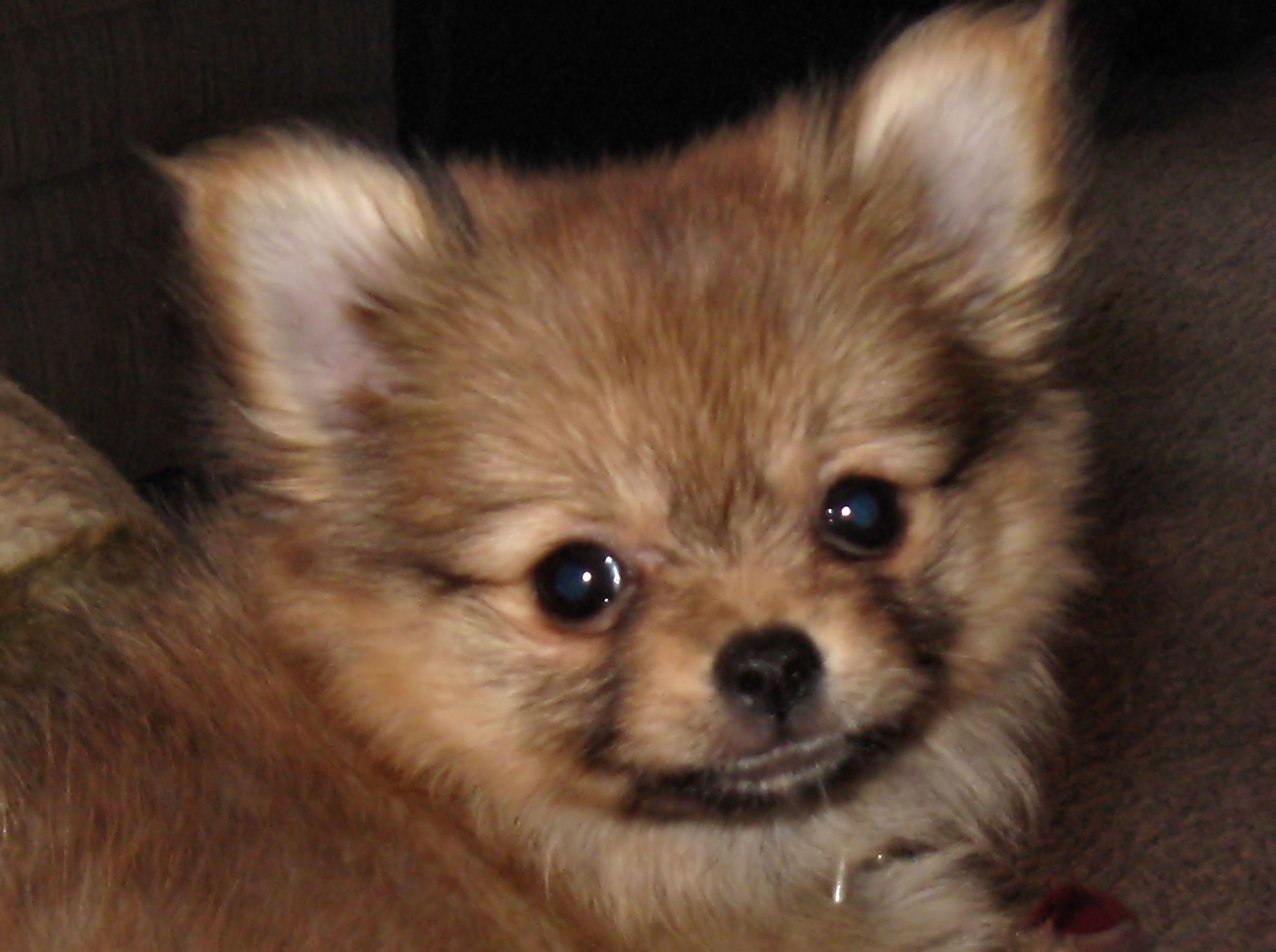 Pics photos dachshund chihuahua dog mix dogs pictures photos pics - Chihuahua Blue Merle Mix Chihuahua Pomeranian Mix Black And White M5x