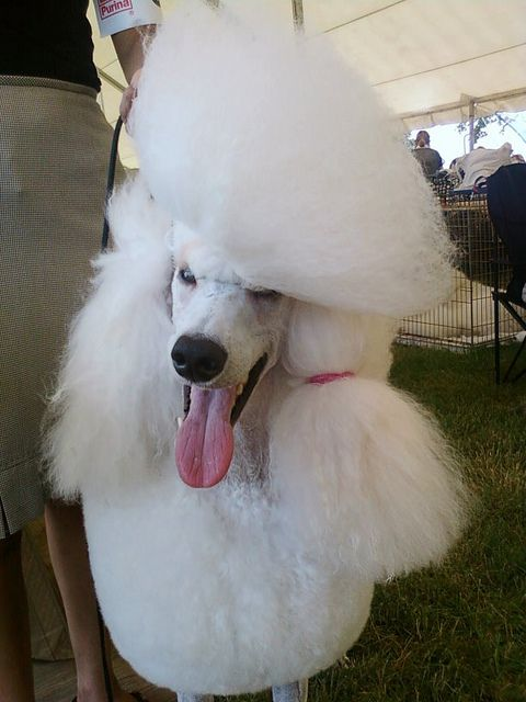 Quite the fashionable poodle!    Join The Pet Concierge club for free!  https://vu106.infusionsoft.com/go/tips/TPC/P