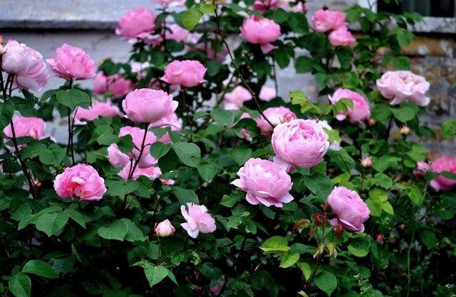 Den frodige have: Constance Spry er perfekt i år