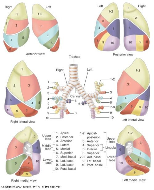 Obligatory Anatomy Diagram of the Day: Left and Right Lungs and ...