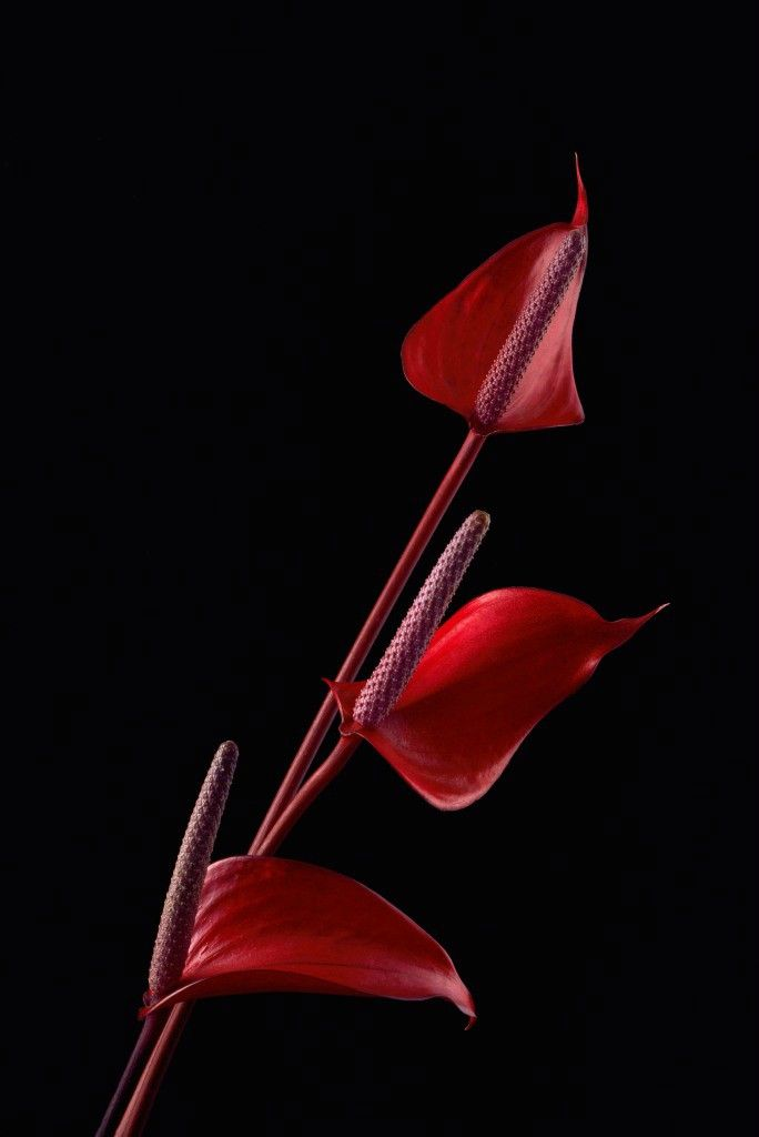 Red Anthurium 3 Plz View Larger Anthurium Anthurium Flower Smartphone Wallpaper