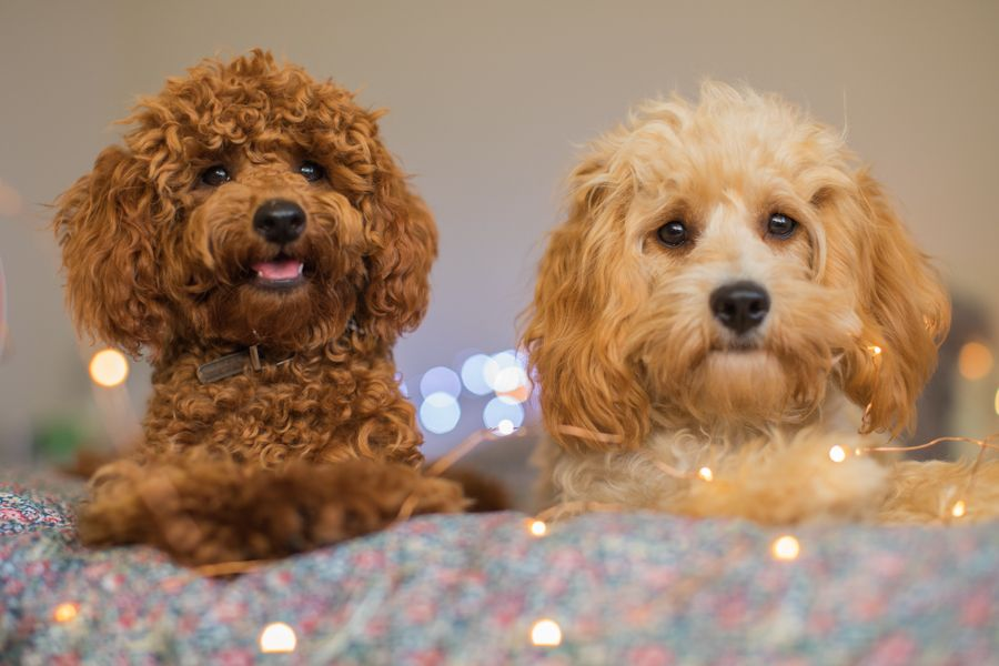 Piccolo Our Red Poodle And Manuka Our Golden Cavoodle Are The