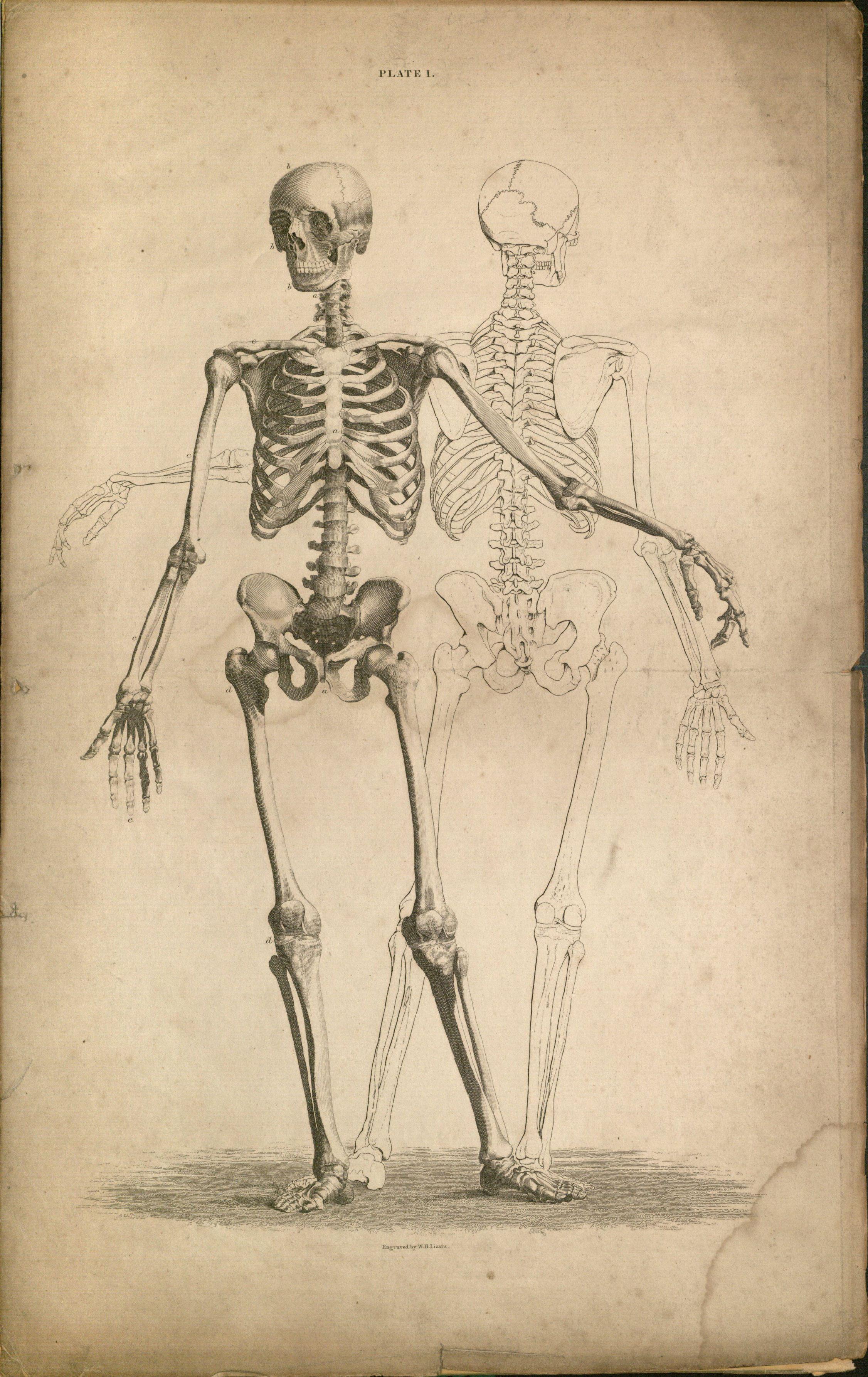 Human skeleton.   med   Pinterest   Anatomía, Arte de yoga y ...