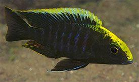 Sulfur Head Peacock African Cichlids Cichlids Cichlid Aquarium