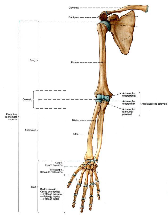 Resultado de imagem para o esqueleto do membro superior | ITS en ...