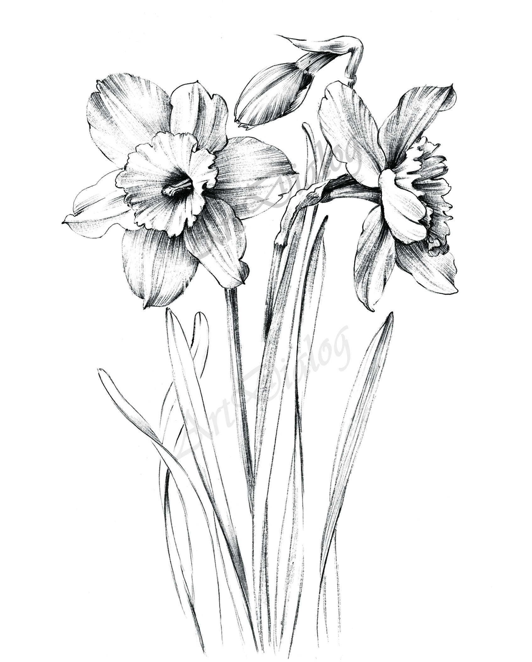 Most Recent Pic Daffodils Line Drawing Thoughts Daffodils Certainly Are A Joyful Spring Flower Announcing The W Flower Drawing Daffodil Tattoo Flower Sketches