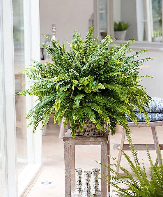 Foug re 39 green lady 39 jardin d 39 int rieur pinterest deco gris gris et plantes - Fougere d interieur ...