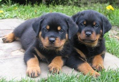 They Look Like Buford And Baxter To Me Rottweiler Dog