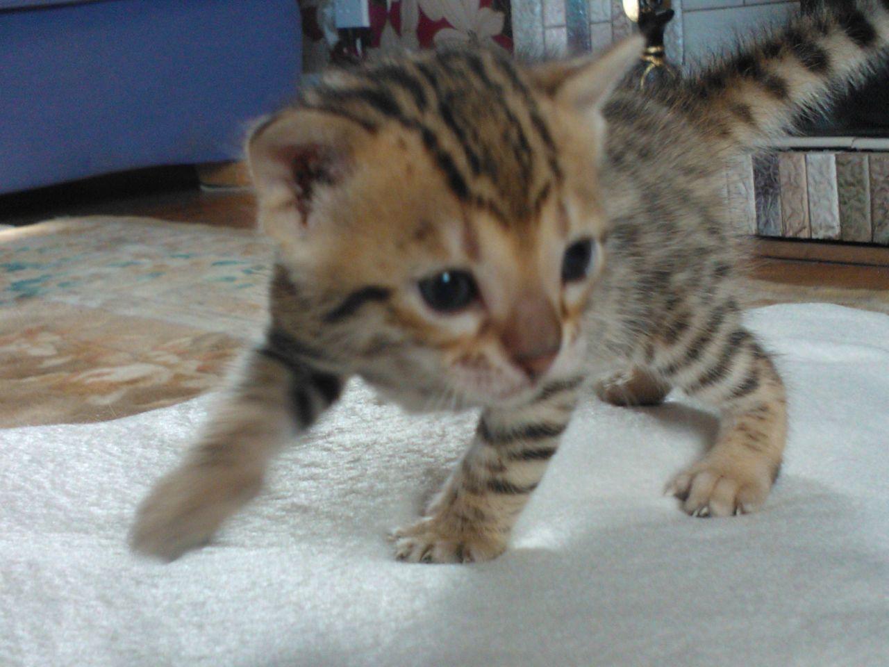 Beautiful Bengal Kittens for sale Bengal kitten, Bengal