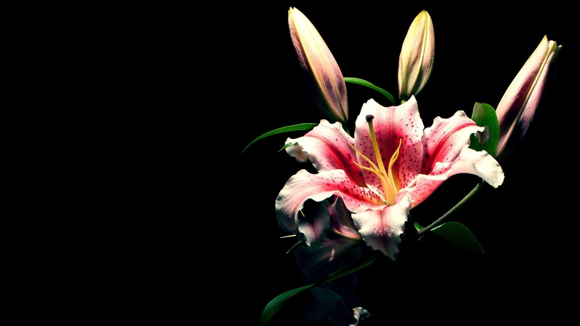 Full HD 1080p Lily Wallpapers HD, Desktop Backgrounds