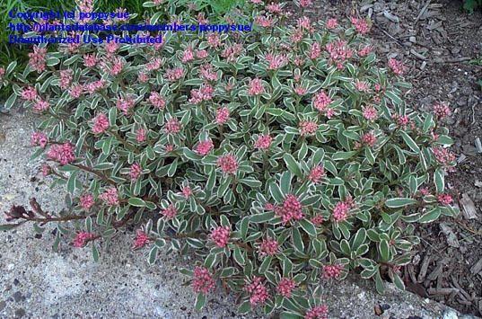 Sedum spurium John Creech. Succulente (plante grasse) à ...