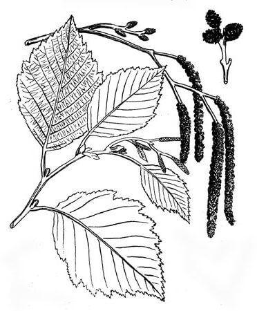 березовый лист трафарет | Листья, Осенние листья, Трафареты