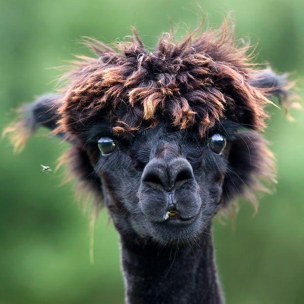 ~~ a newly sheared alpaca ~~ Haha....he looks like he's in shock!