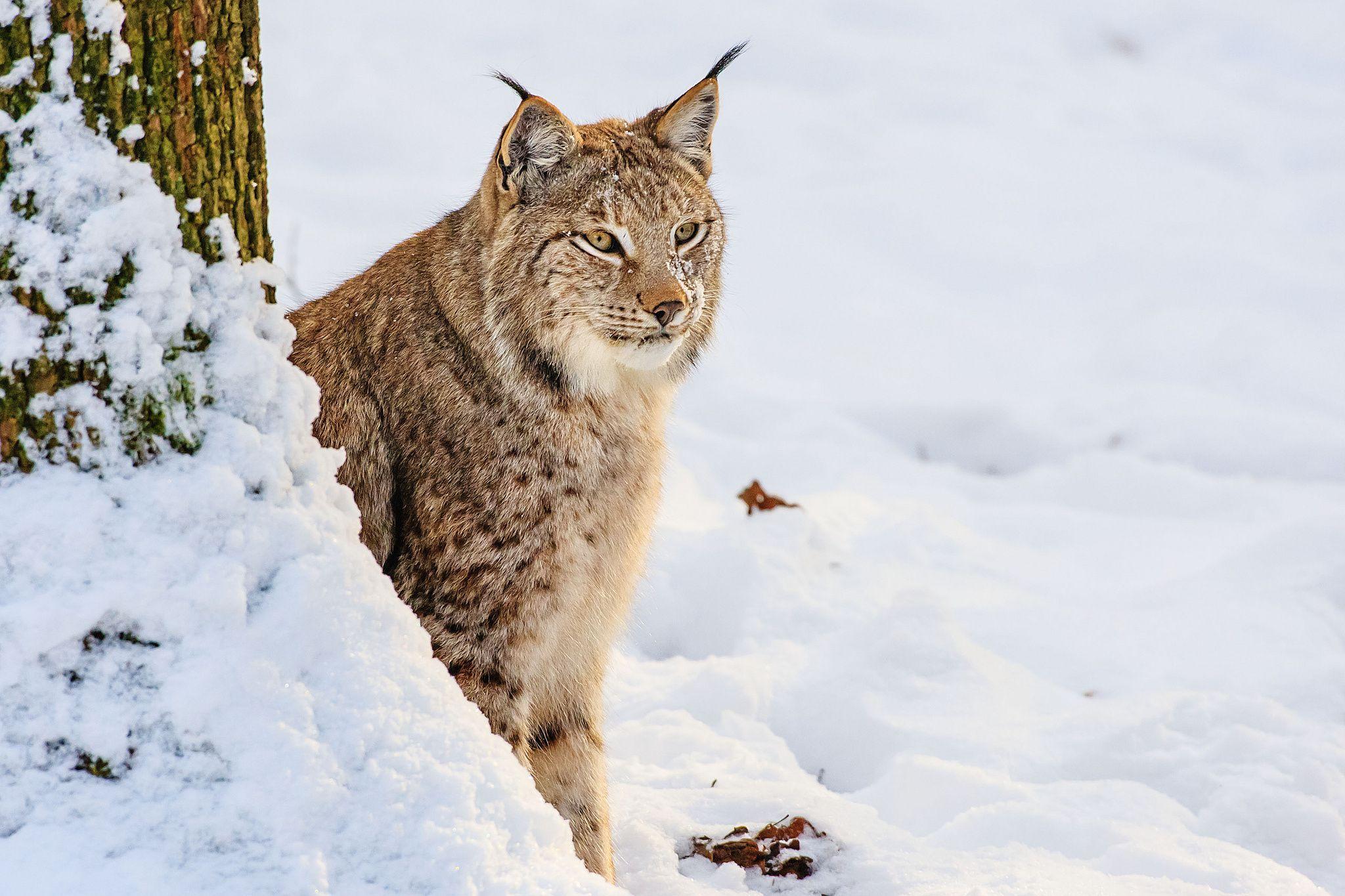 Animal Lynx Wallpaper Wild Cats Animals Cats