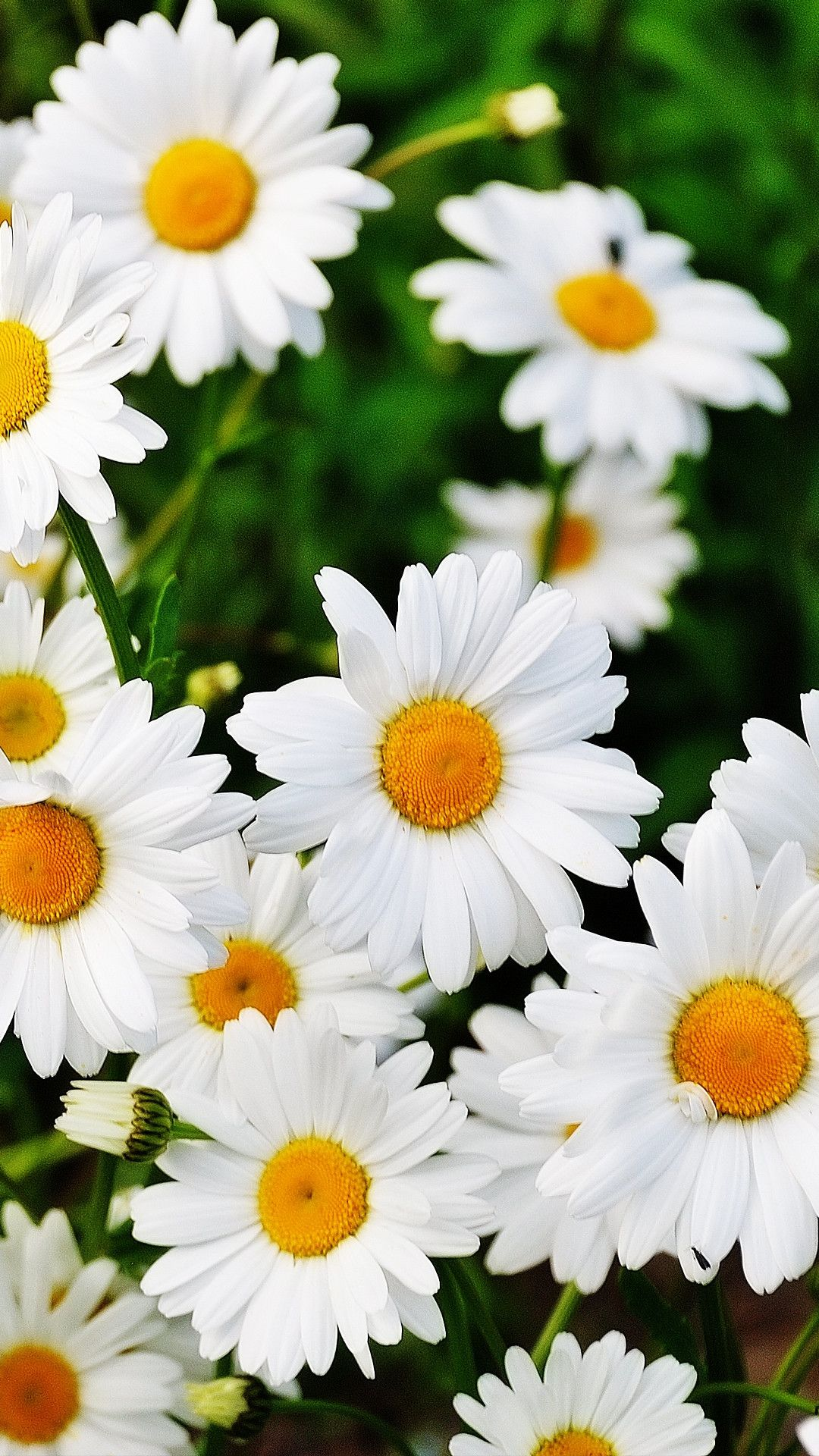 54 Daisy Flower Wallpapers On Wallpaperplay Flower Wallpaper Beautiful Flowers Wallpapers Best Flower Wallpaper Flower wallpaper vertical hd