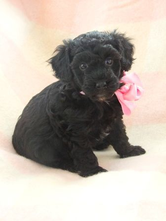 Fantastic Black Toy Poodle Puppy One Left Puppies Poodle Cute