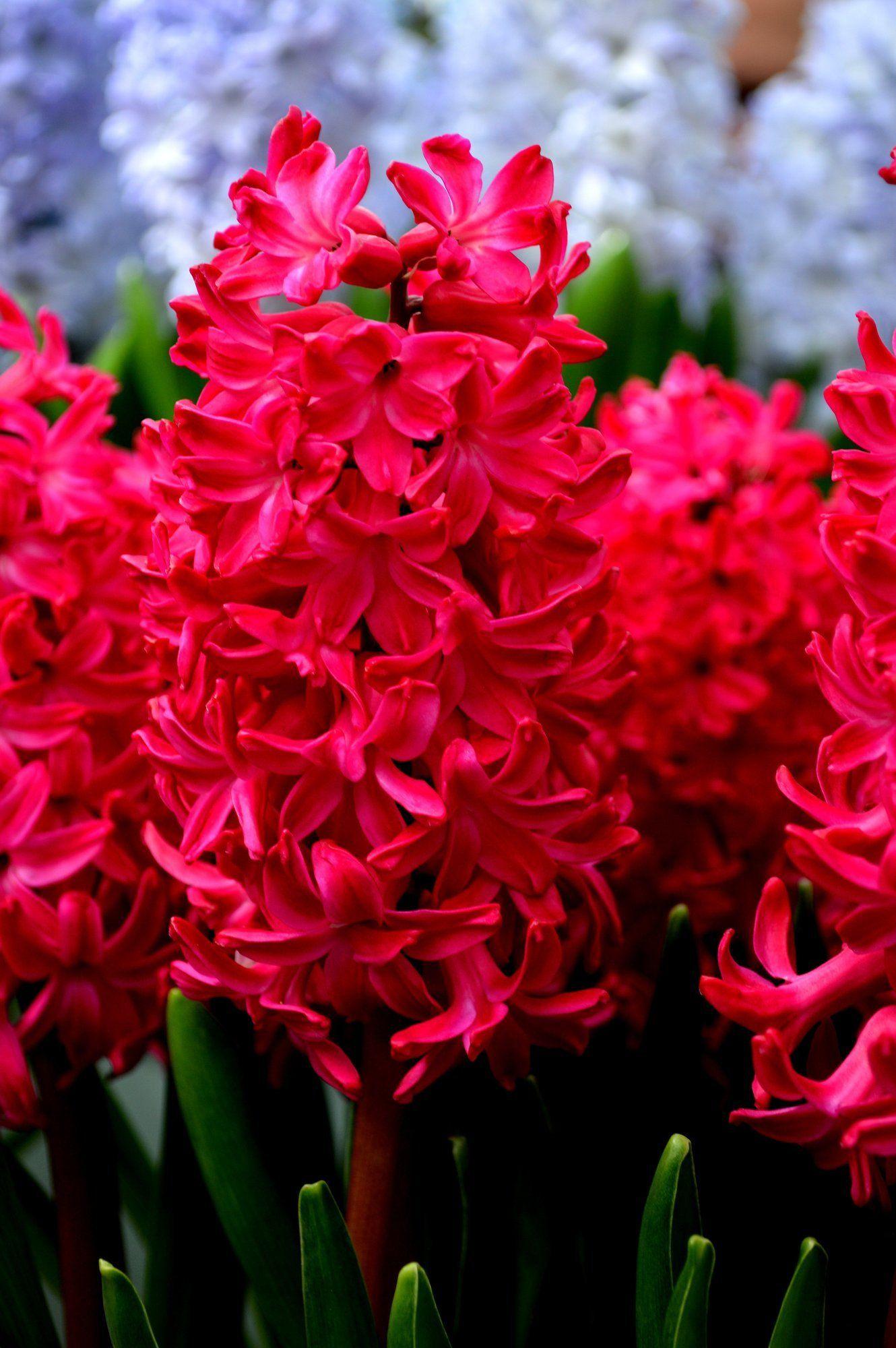 5 Bright Red Hyacinthus Bulbs Garden Hardy Perennial Flower Fragrant Container Bulb Spring Bulb Fall Landsca Red Perennials Flowers Perennials Hardy Perennials