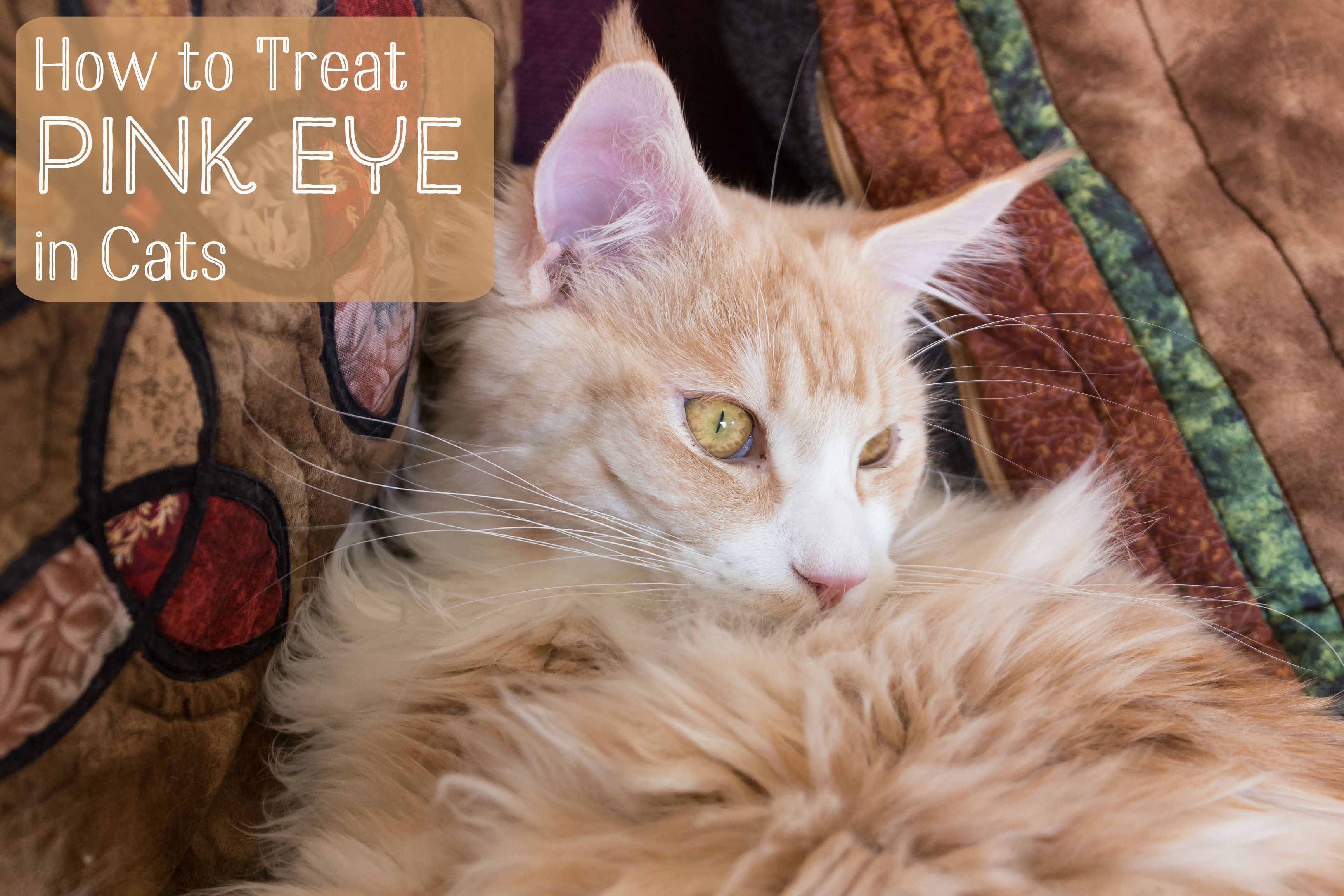 Treating Conjunctivitis In Cats Cats Cat Eye Problems Treating Pink Eye