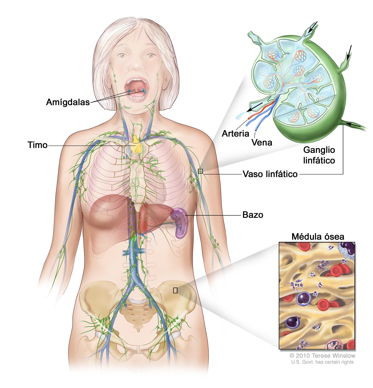 Anatomía del Sistema linfático | Anatomia | Pinterest | Sistema ...