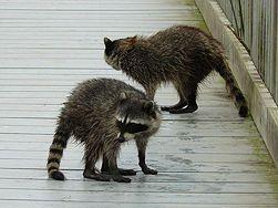 Get Rid Of Raccoons Getting Rid Of Raccoons Raccoon Animal