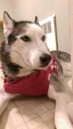 Lost Husky Reward If Found Losing A Dog Husky Light Blue Eyes