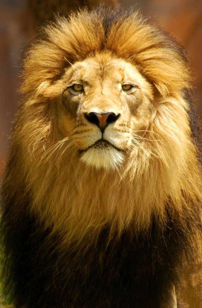 Symbolic Meaning Of Lions Lions Pinterest Lions Cat And Animal