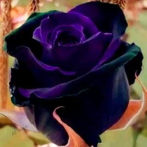 Photo of 200 seeds Rare Holland Rainbow Rose Flower