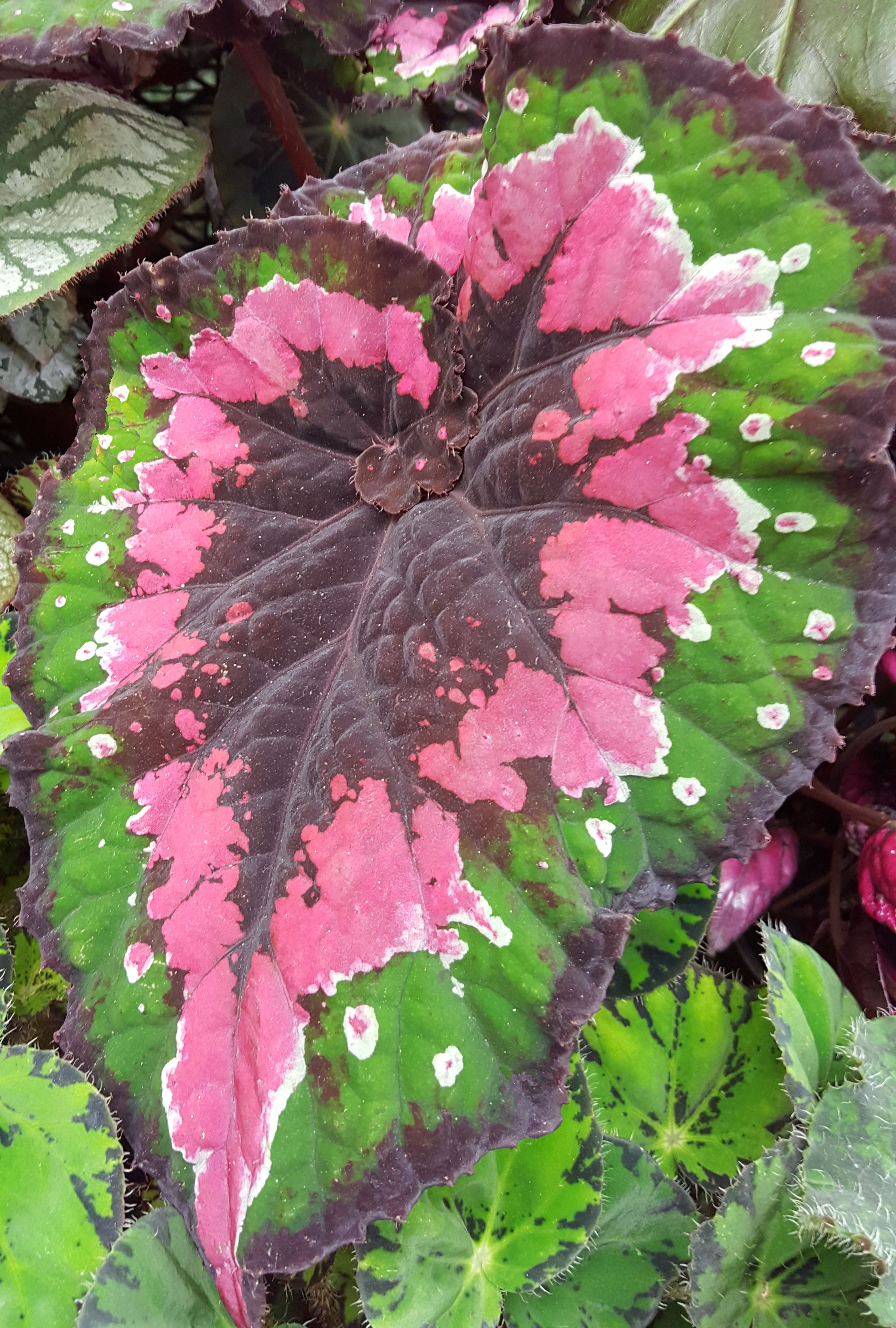 Begonia Curly Christmas The Name Says It All Plant Sale Vascular Plant Leaf Flowers