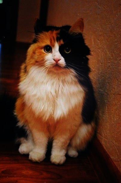 Beautiful Long Hair Calico Cat Cute Cats Pretty Cats Cats