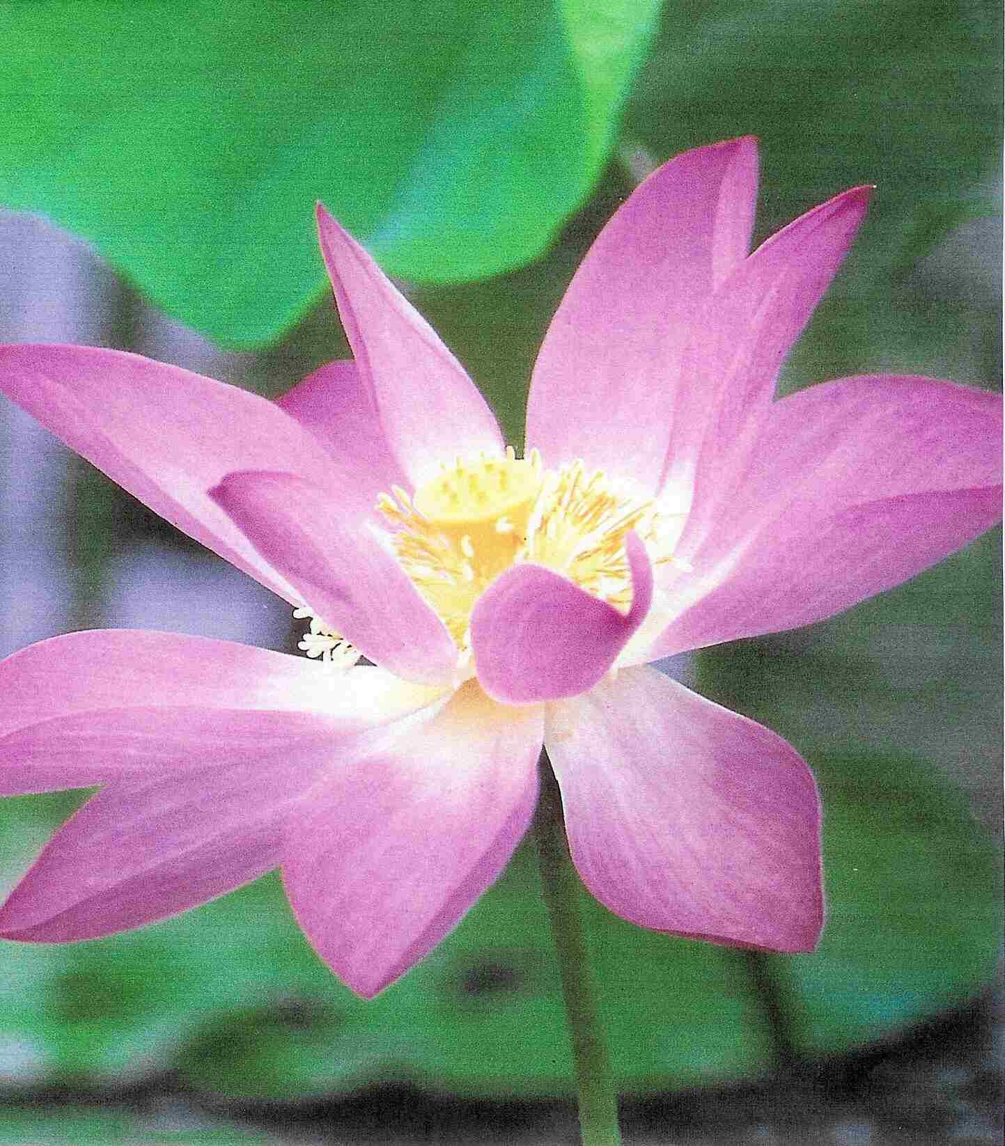 pictures of flowers Lotus Flower Meaning & Pictures