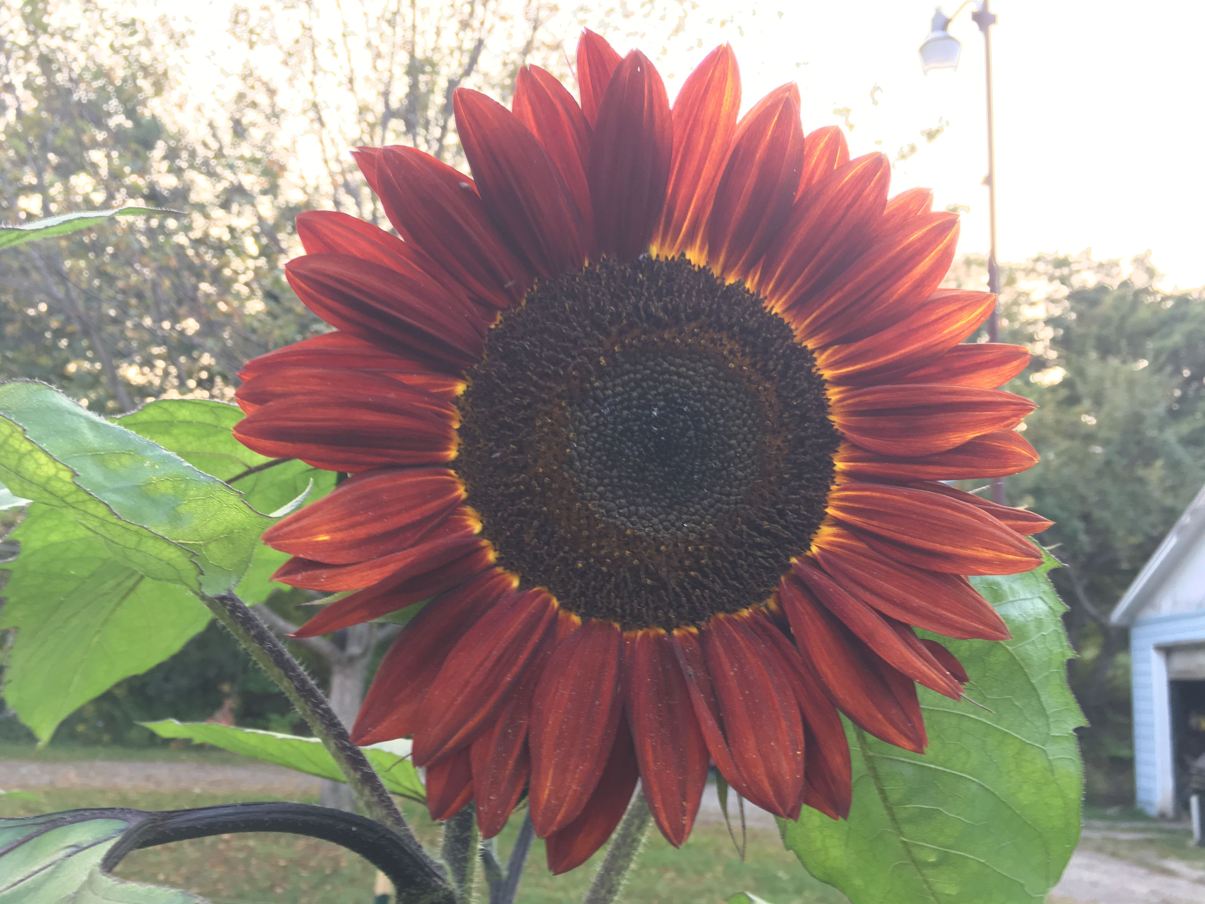 Pin By Tina Stanley On Sunflowers Plants Sunflower Pandan
