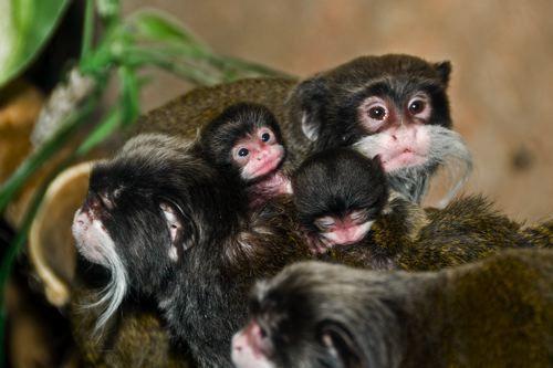 Cute Emperor Tamarins Photo Cute Animals Baby Monkey Monkey Types