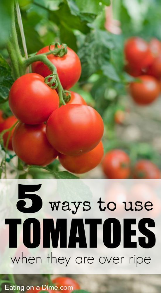 Do you have too many tomatoes coming from your garden? Here are 5 Ways to Use Tomatoes When they are Over Ripe