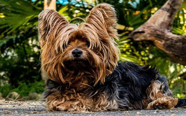 Small Long Haired Dog Breeds Colors
