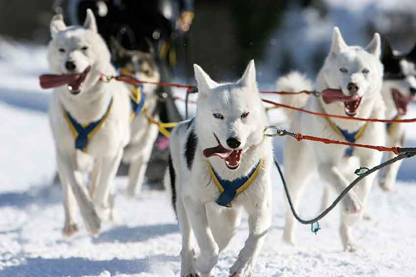 Sled Dog Names Unique Naming Ideas For Snow Dogs Dog Names Dog
