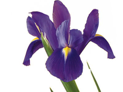 Iris best characteristics of a long, happy marriage