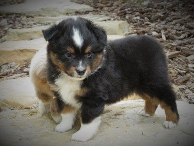 Mini Aussie Puppies For Sale In Utah Castle Valley Cowboy