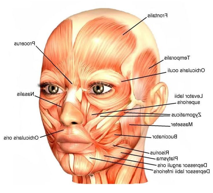 Diagram Of Facial Muscle Google Diy Enthusiasts Wiring Diagrams