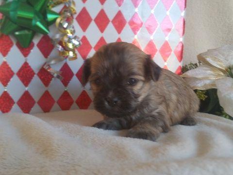 Cavachon Puppy For Sale In East Earl Pa Adn 21334 On Puppyfinder
